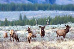 Wapiti-USA-Yellowstone-Hirsch-Fotoreise