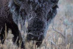 USA-Bison-Bueffel-Kopf-Yellowstone-Fotoreises
