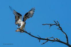 USA-Kanada-Fischadler-Fotoreise