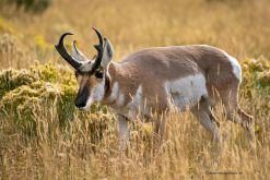 USA-Montana-Yellowstone-Pronghorn-Antilope-Bock-Fotoreise