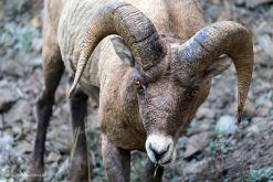 USA-Yellowstone-Bighorn-Sheep-Fotoreise-Nationalpark