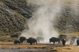 Yellowstone-NP-Bisonherde