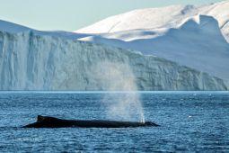 Blasender-Wal-Groenland-Fotoreise