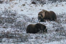 Moschusochsen-Groenland-Fotoreise-Kangerlussuaq-Tundrasafari