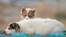 Schlittenhund-Welpen-liegend-Groenland-Fotoreise