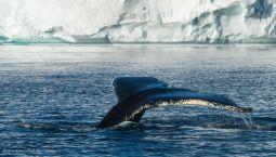 Wal-Fluke-Groenland-Fotoreise