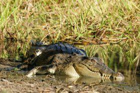 a-krokodil-yellow-waters
