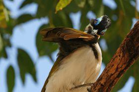 f-blue-faced-honeyeater