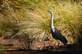 white-necked-heron