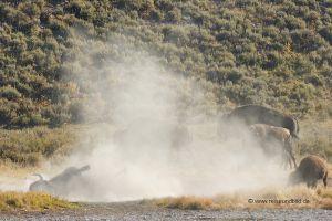 Yellowstone-Bisonherde-im-Staub